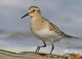 Baird's Sandpiper Photo