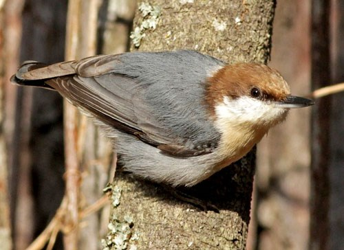 Brown-headed Nuthatch Photo