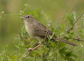 Botteri's Sparrow Photo