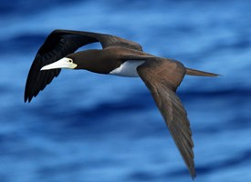 Brown Booby Photo