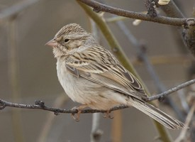 Brewer's Sparrow Photo