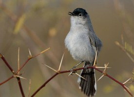 Black-tailed Gnatcatcher Photo