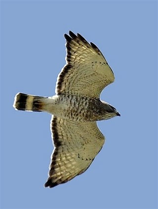 Broad-winged Hawk, Identification, All About Birds ...