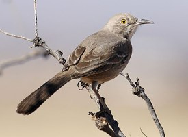Bendire's Thrasher Photo