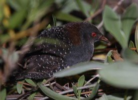 Black Rail Photo