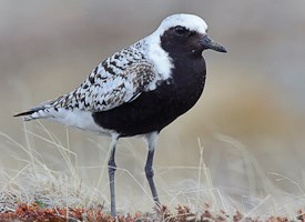 Black-bellied Plover Photo