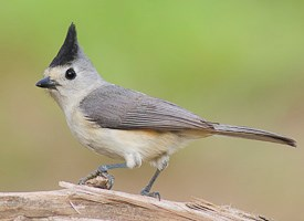 Black-crested Titmouse Photo