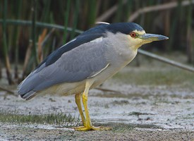 Black-crowned Night-Heron Photo