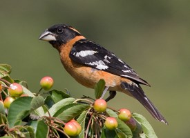 Black-headed Grosbeak Photo