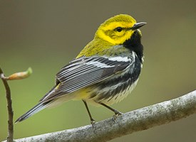 Black-throated Green Warbler Photo