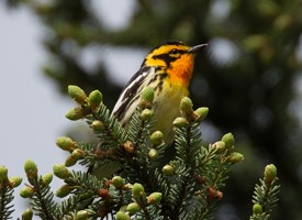 Blackburnian Warbler Photo