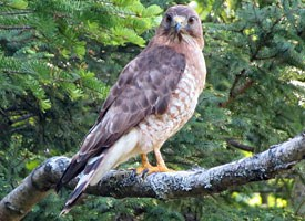 Broad-winged Hawk Photo