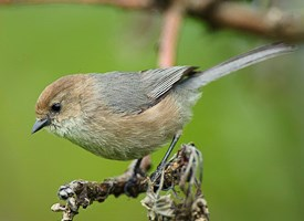 Bushtit Photo