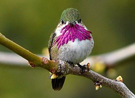 Calliope Hummingbird Photo