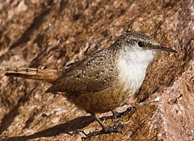 Canyon Wren Photo