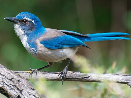 California Scrub-Jay Photo