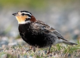 Chestnut-collared Longspur Photo