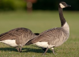 Canada Goose coats outlet cheap - Canada Goose, Life History, All About Birds - Cornell Lab of ...