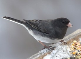 Dark-eyed Junco Photo