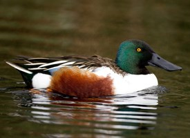 Northern Shoveler Photo