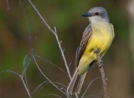 Couchs Kingbird Photo