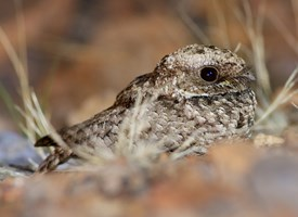 Common Poorwill Photo