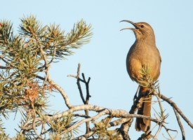 California Thrasher Photo