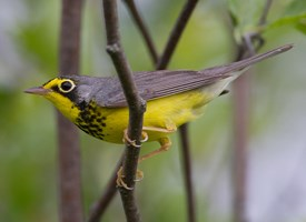 Canada Warbler Photo