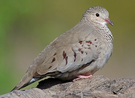Common Ground-Dove Photo
