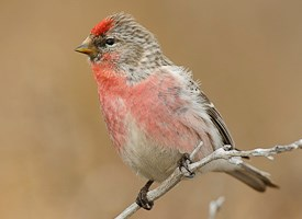 Common Redpoll Photo