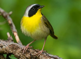 Common Yellowthroat Photo