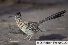 Here is a real Roadrunner