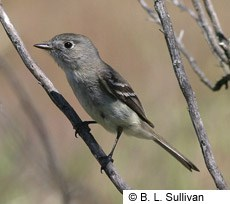 Dusky Flycatcher Photo