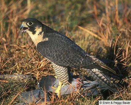 Falconiformes. sub Falconidae - sub fam Falconinae - gênero Falco - Página 2 EPB_040403_100001_L