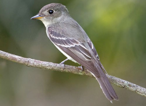 Eastern Wood-Pewee Photo