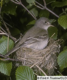 Alder Flycatcher Photo