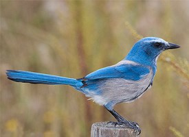 Florida Scrub-Jay Photo