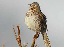 Fox Sparrow Photo