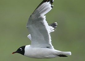 Franklin's Gull Photo