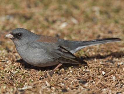 (Gray-headed)