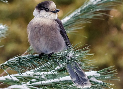 Gray Jay Photo