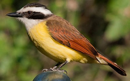 Great Kiskadee Photo