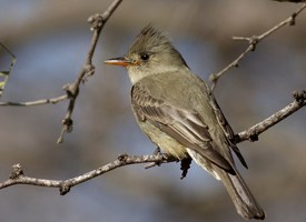 Greater Pewee Photo