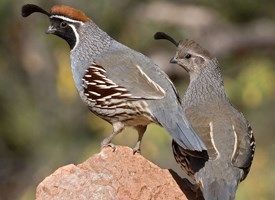 Gambels Quail Photo