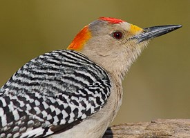 Golden-fronted Woodpecker Photo