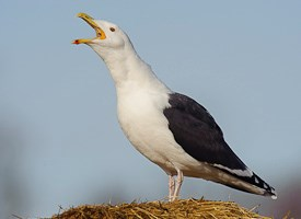 Great Black-backed Gull Photo
