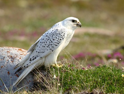 Adult white-morph