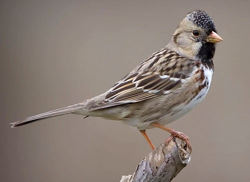 Harriss Sparrow Photo