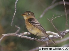 Buff-breasted Flycatcher Photo