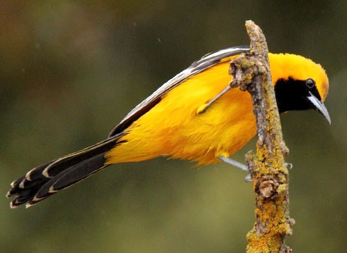 Hooded Oriole Photo